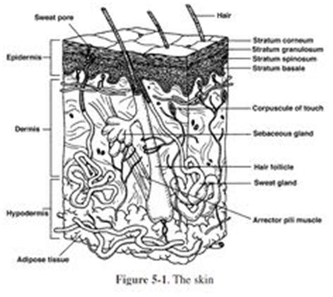 anatomy and physiology coloring workbook answers skin 1000 images about integumentary on human