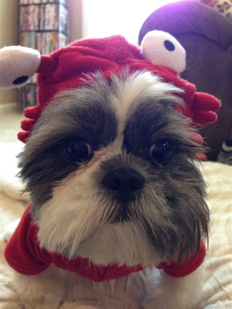 shih tzu costume 17 best images about shih tzu on costumes eeyore and harley davidson