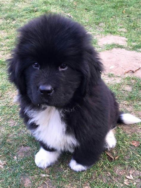 newfoundland puppy 25 best newfoundland puppies ideas on big breeds big fluffy dogs and