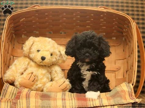havapoo puppies california 54 best havapoo poovanese adorable images on
