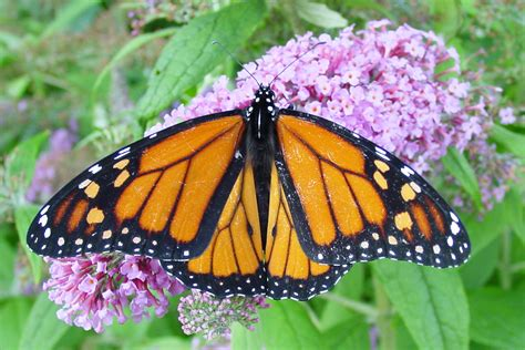 the monarch of the file male monarch jpg wikimedia commons