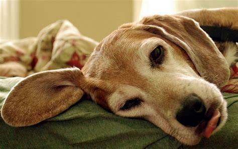 tired puppy tired wallpapers and images wallpapers pictures photos