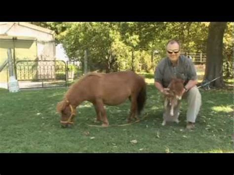 Small Home Breeds World S Smallest Breed A Comeback