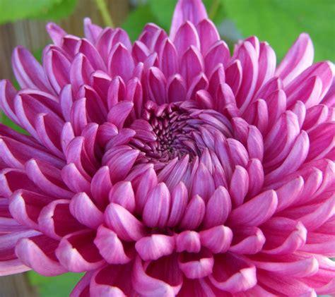 chrysanths flowers dendranthema grandiflora tzvelev