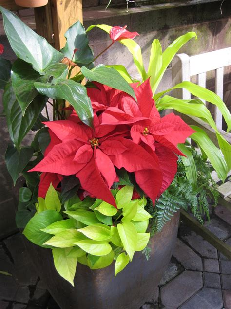 mix houseplants  holiday plants  flowers hgtv