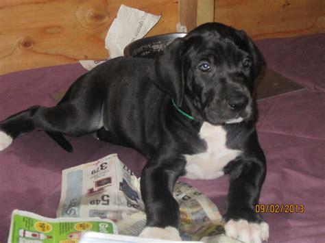 great dane puppies for sale az great danes great dane breeder tucson arizona