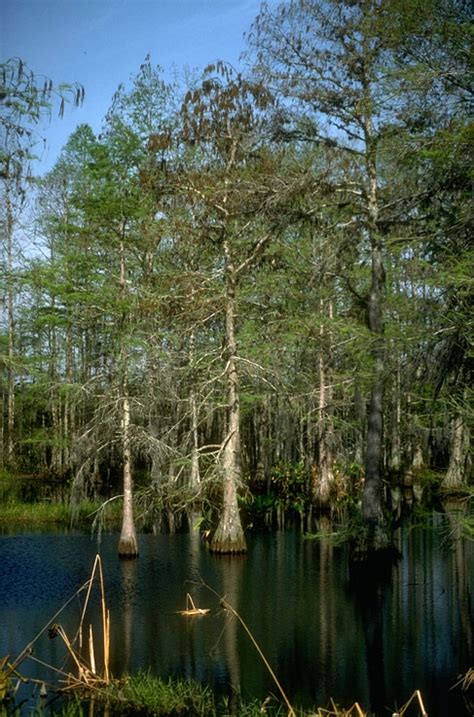 pictures  cypress swamps florida