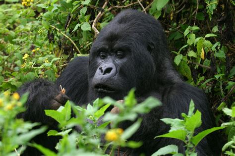 amazon rainforest animals gorilla gorilla safaris gorilla trekking the mountain gorillas