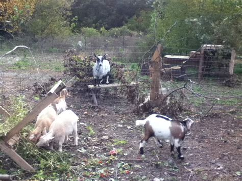 can i have goats in my backyard can i goats in my backyard 28 images goat walking can
