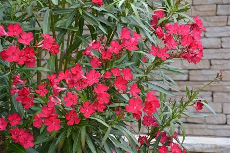 piante e arbusti da giardino arbusti perenni piante da giardino conoscere gli