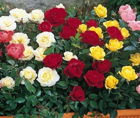 Murah Tempat Membuat Agar Bunga Hijau cara merawat mawar agar cepat berbunga bibitbunga
