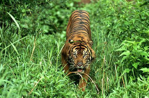 Makanan Ikan Hias Sumatra ogut267 binatang yang terancam punah