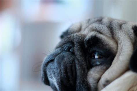 wrinkly pugs overflowing with wrinkly goodness pug