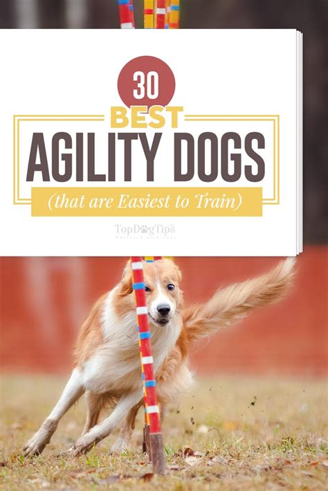 how to a for agility competition 30 best agility dogs that are easiest to for agility competitions