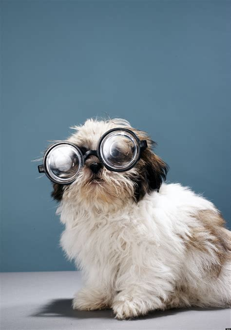 puppy with glasses does your need glasses huffpost