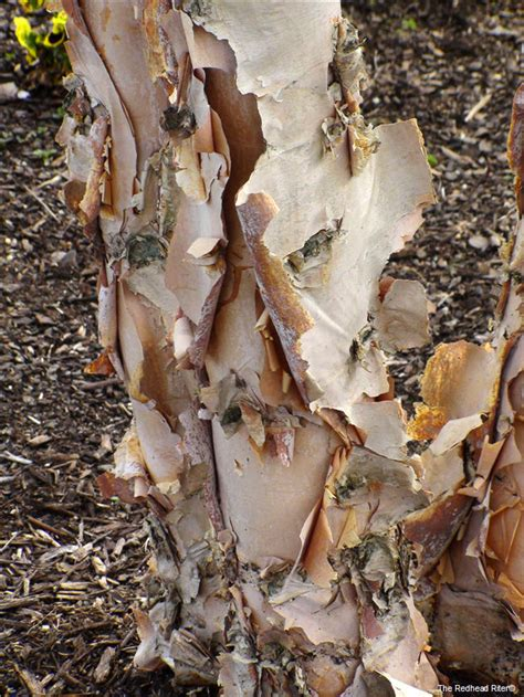 Tree With Shedding Bark by Tree With Peeling Bark 5 Letters Myideasbedroom