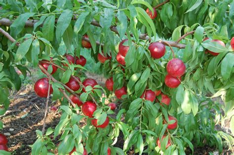 nectarine tree summer on the earth orchard