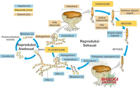 Rautan Bentuk Jamur 2 Lubang jamur ascomycota struktur tubuh reproduksi dan contohnya dunia biologi