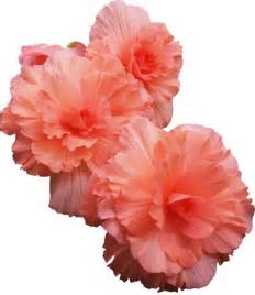 Transparent Flower Images - flowers transparent yh ideas for the house