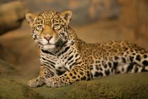 Why Do Jaguars Spots Hide And Seek In The Animal Kingdom