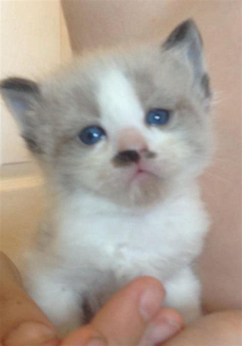 ragdoll kittens for adoption stunning ragdoll kittens for sale for sale adoption from