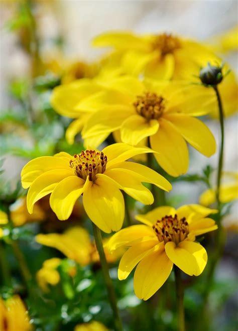 Bidens Pflanze by Goldmarie Zweizahn Bidens Ferulifolia Pflege
