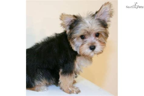 yorkie limping on back leg teacup yorkie breeds picture