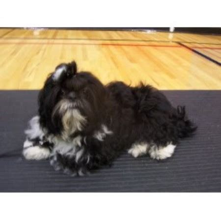 new york shih tzu breeders sing sing shih tzu s shih tzu breeder in lyndonville new york