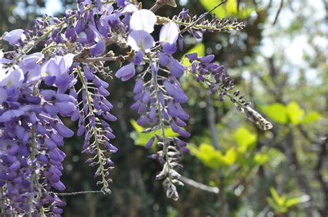 wisteria meaning wisteria meaning 28 images wisteria meaning and