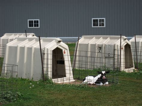 Veal Hutches healthy or happy but not both from animal to