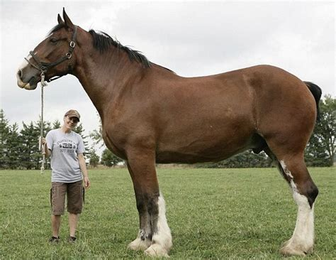 tallest breed poe clydesdale breed is the tallest in the world according to owner