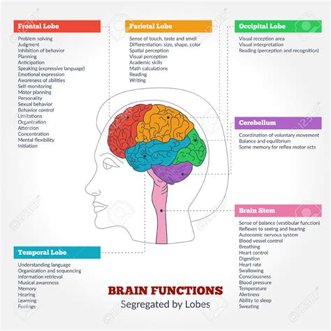 diagram and functions brain structure and function diagram anatomy list