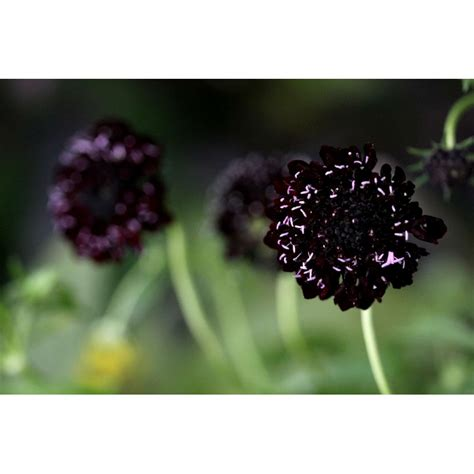 Bibit Benih Seeds Pinchushion Flower Mix Scabiosa Atropurpurea image gallery scabiosa seeds