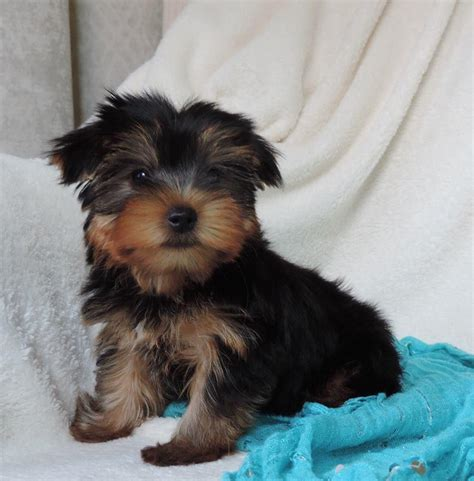 yorkie puppies miniature miniature teacup yorkie puppies mossel bay ads south africa