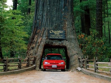 Chandelier Drive Through Tree Chandelier Tree Leggett California Cars Wallpaper