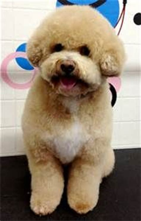 dog haircuts austin 17 best images about maltipoo cuts on pinterest pictures