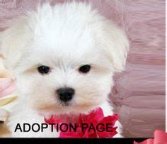 yorkie puppies for sale in ta mascota on maltese bichon frise and maltese puppies