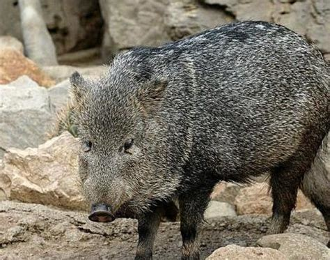 ecology conservation and management of pigs and peccaries books collared peccary pecari tajacu animals a z animals