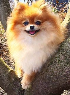 what do pomeranians look like 1000 ideas about pomeranian chihuahua on chihuahua mix pomeranian mix