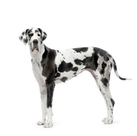 black and white great dane puppies black and white great dane wish list