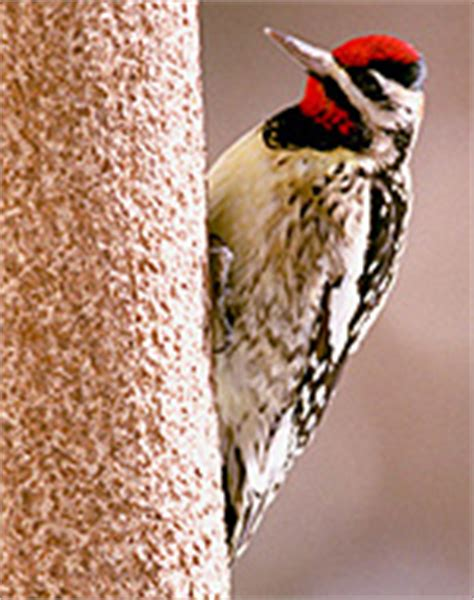 woodpeckers in illinois