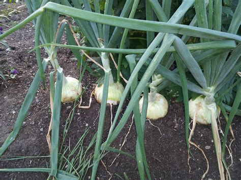 Gardening Onions by 301 Moved Permanently
