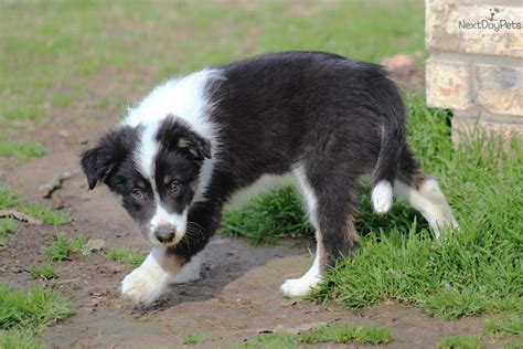 border collie puppies for sale near me border collie puppy for sale near east tx 19c7940f 5911