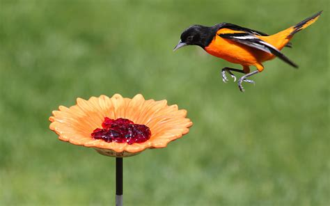 oriole bird feeder grape jelly birdcage design ideas