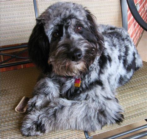 mini labradoodles wa mattie blue merle aussiedoodle from dreamydoodles