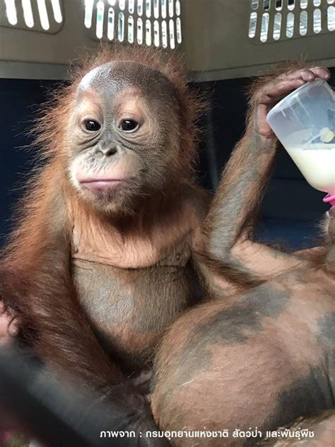 orangutans for sale baby orangutans advertised for sale on rescued