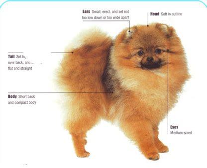 how to breed a pomeranian meet the pomeranian breed pomeranian