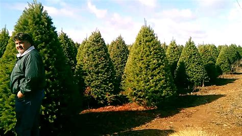 venta de mayoreo de pinos naturales de navidad tipo