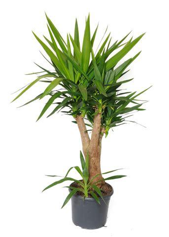 Plante Verte Yucca by Plante Verte Yuka Florideeo