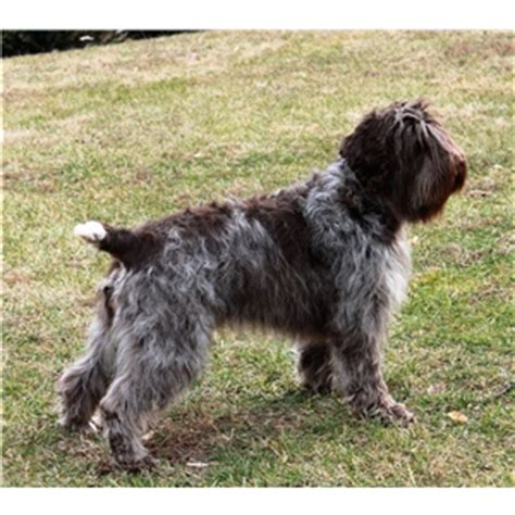 wirehaired pointing griffon puppies for sale 2017 wirehaired pointing griffon puppies ad 80673